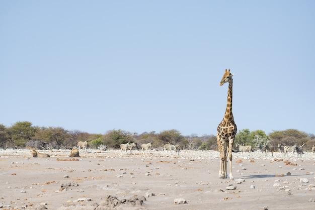 Giraffe, die nahe den löwen sich hinlegen aus den grund geht. wildlife safari im etosha national park. Premium Fotos