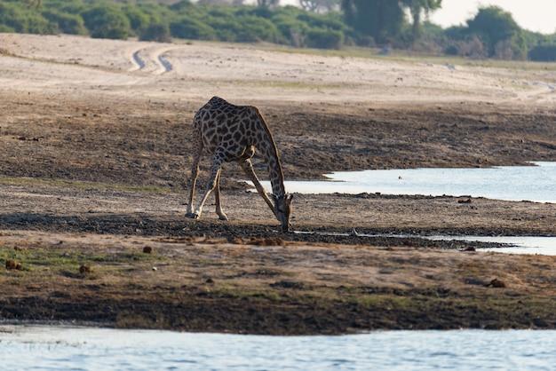 Giraffe, die vom waterhole trinkt. wildlife safari im etosha national park, berühmtes reiseziel in namibia Premium Fotos