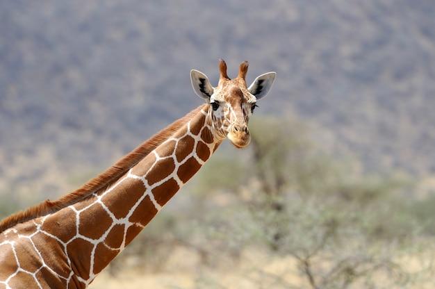 Giraffe in freier wildbahn Kostenlose Fotos