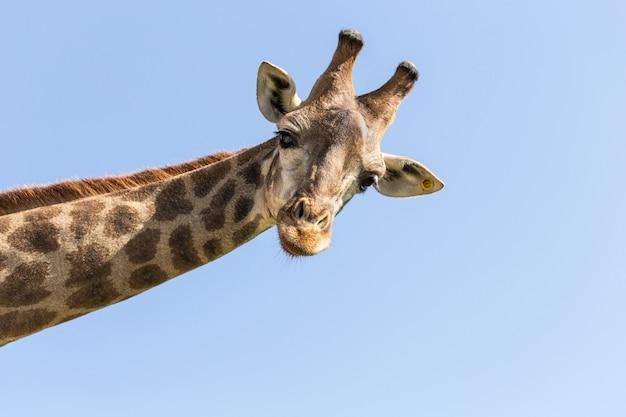 Giraffe Premium Fotos