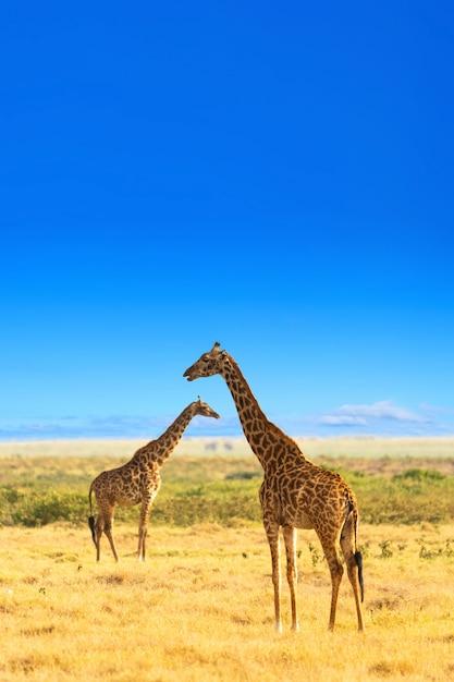 Giraffen in der afrikanischen savanne. masai mara nationalpark, kenia. Premium Fotos