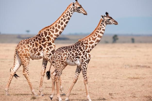 Giraffen in kenia Premium Fotos