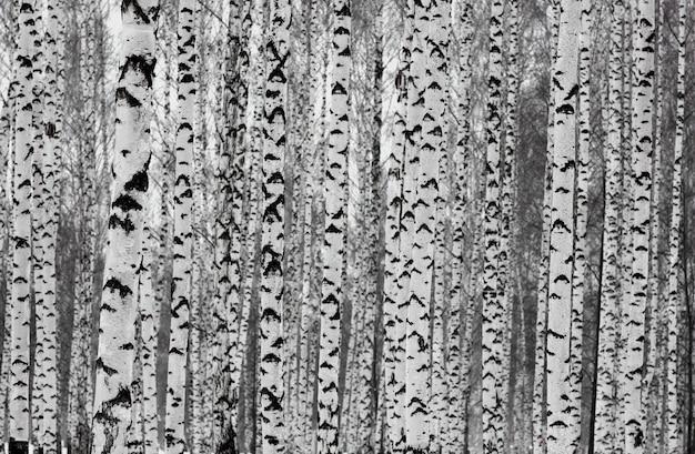 Glatte schlanke birken im winterwald Premium Fotos