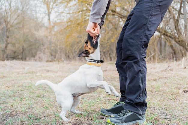 Glatter foxterrierwelpe spielt mit seinem inhaber in einem park. junger hund und eine person verbringen zeit zusammen im freien Premium Fotos