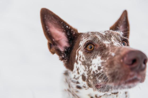 Glücklicher weiß-brauner hund im kragen auf schneebedecktem feld im winterwald Premium Fotos