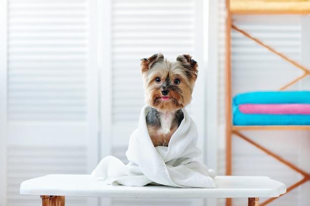 Glücklicher yorkshire-terrierhund nach bad Premium Fotos