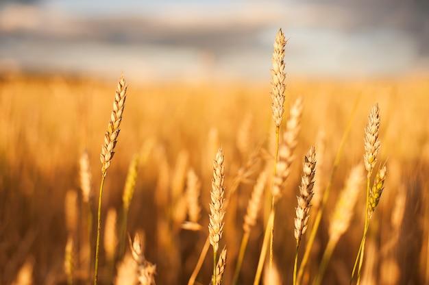 Gold weizen flied bei sonnenuntergang, ländliche landschaft. Premium Fotos