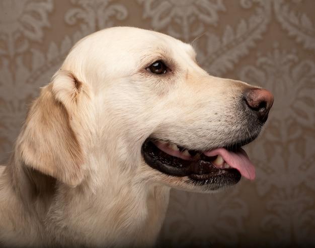 Golden retriever-hund zu hause fotografiert Premium Fotos