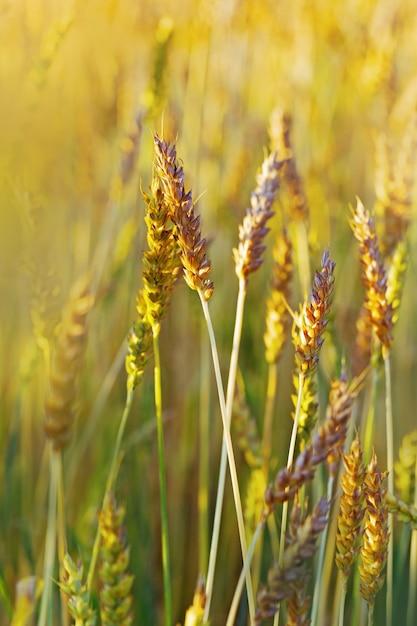 Goldene weizenähren im warmen sonnenlicht. weizen hautnah. weizenfeld im sonnenuntergang. Premium Fotos
