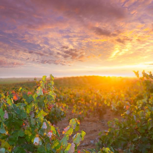 Goldener roter weinbergsonnenuntergang des herbstes in utiel requena Premium Fotos