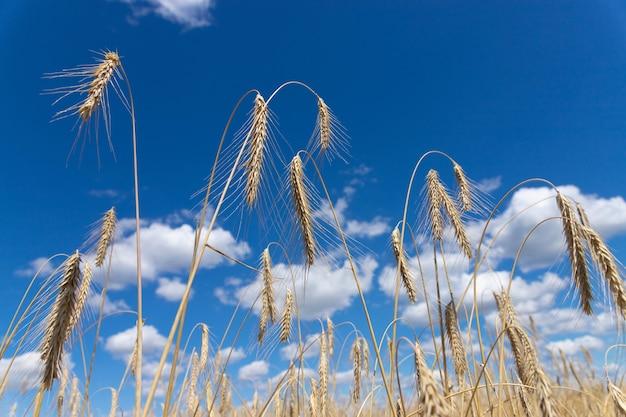 Goldenes weizenähre gegen den weichen fokus des blauen himmels, nahaufnahme, landwirtschaftshintergrund Premium Fotos