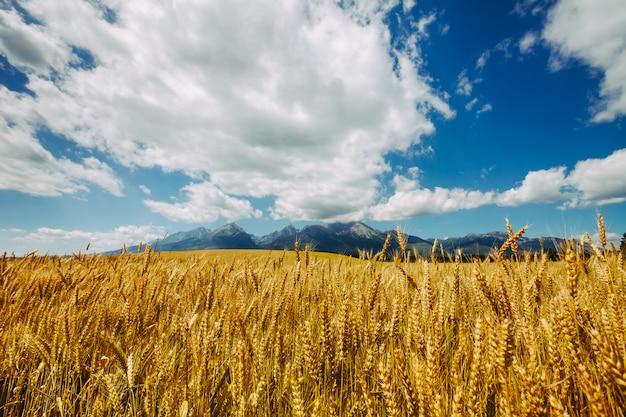 Goldenes weizenfeld. die tatra, slowakei. Premium Fotos