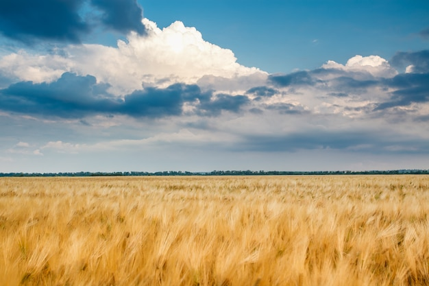 Goldenes weizenfeld mit blauem himmel Premium Fotos
