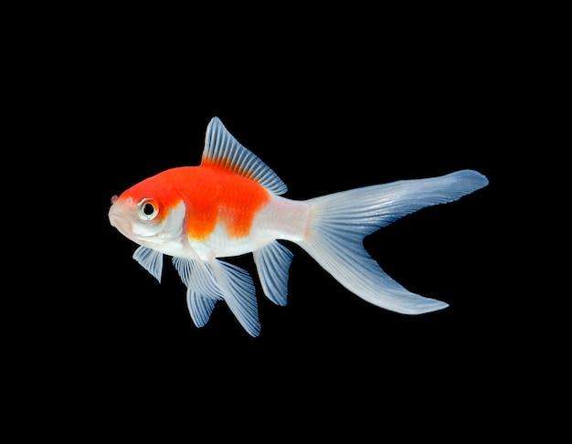 Goldfisch getrennt auf schwarzem Premium Fotos