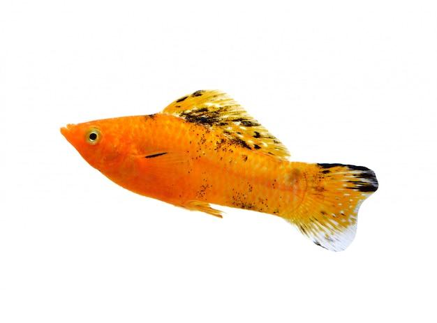 Goldfisch getrennt auf weiß Premium Fotos