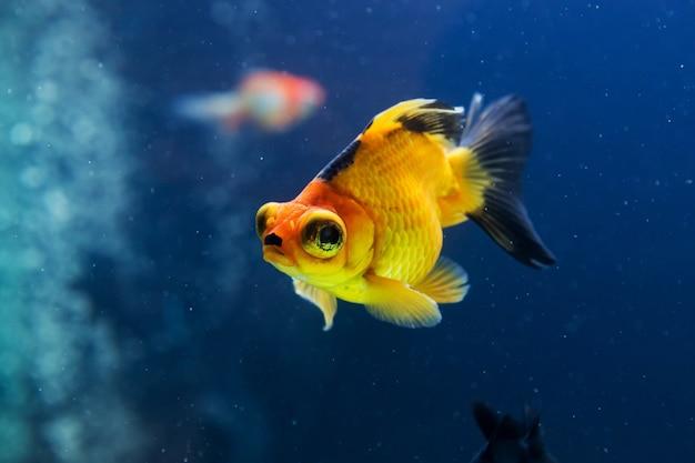 Goldfisch im aquarium mit grünpflanzen Premium Fotos