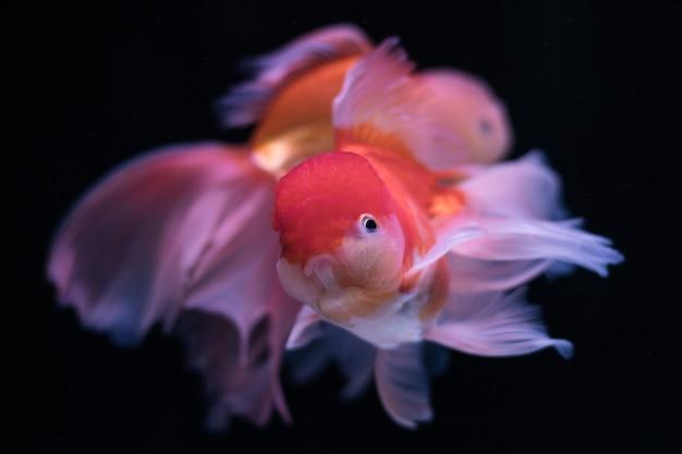Goldfisch in einem aquarium Premium Fotos