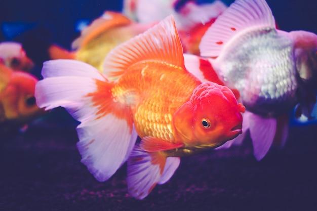 Goldfisch in einer vitrine. Premium Fotos