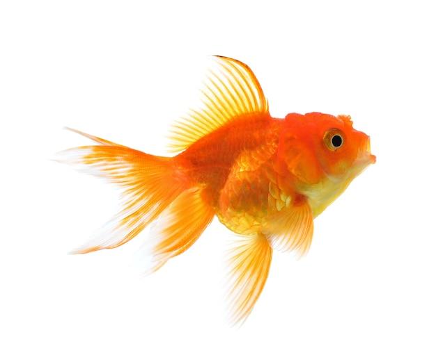 Goldfisch lokalisiert auf einem weißen hintergrund. Premium Fotos
