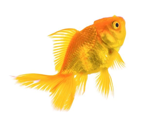 Goldfisch lokalisiert auf weißem hintergrund Premium Fotos