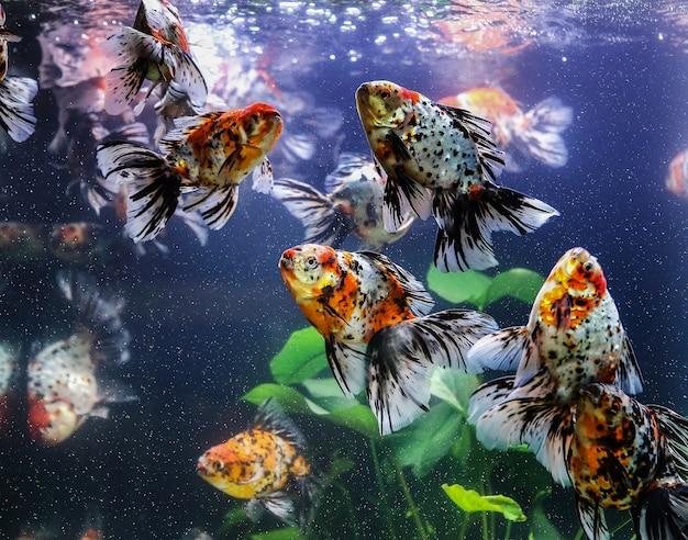 Goldfisch saugt einen felsen im aquarium Premium Fotos