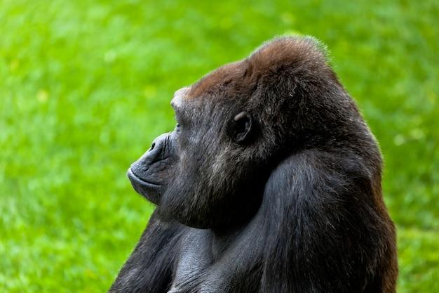 Gorilla im gras Premium Fotos
