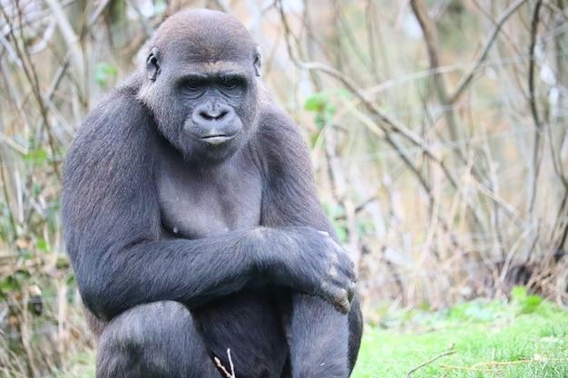 Gorilla sitzt auf dem gras, während er nach unten schaut Kostenlose Fotos