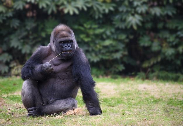 Gorilla sitzt auf einem gras und schaut zur seite Premium Fotos