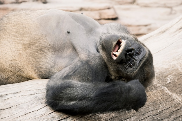 Gorilla Kostenlose Fotos