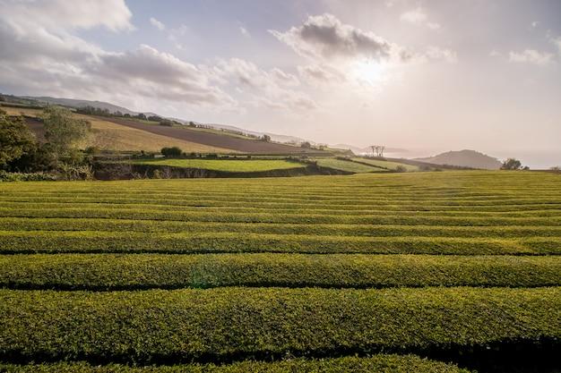 Gorreana-teefelder Premium Fotos
