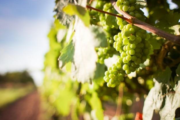 Grapevine und trauben Kostenlose Fotos