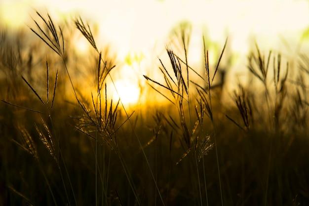Gras mit einem warmen licht am morgen. Premium Fotos