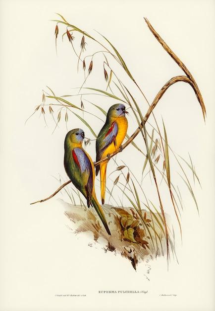 Gras-sittich (euphema pulchella), illustriert von elizabeth gould Kostenlose Fotos