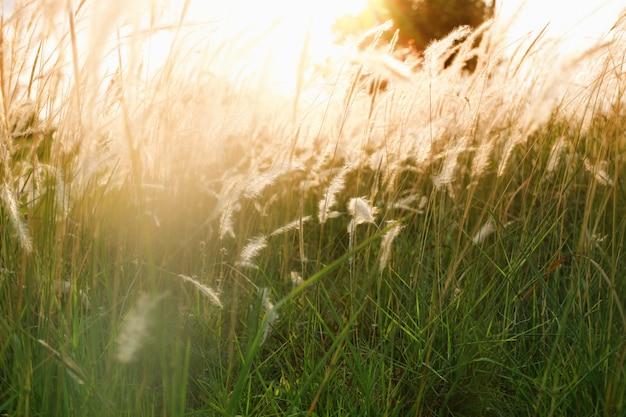 Gras und sonnenlicht am abend der weinlesefarbart. Premium Fotos