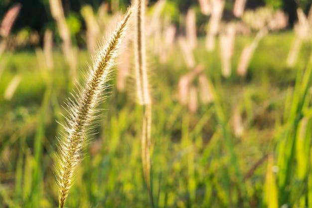 Grasblume im sonnenlicht natur Premium Fotos
