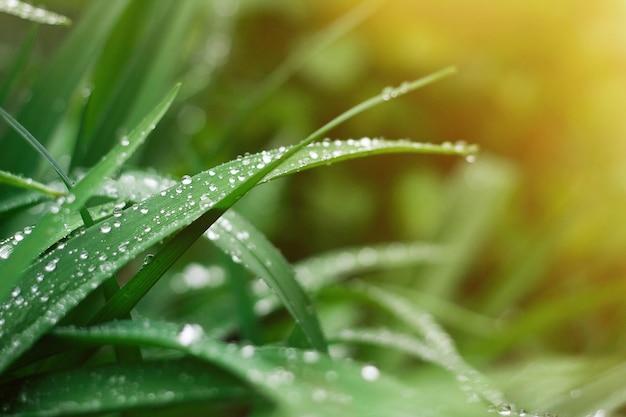 Grashintergrund mit regentropfen des sonnenaufflackerns Premium Fotos