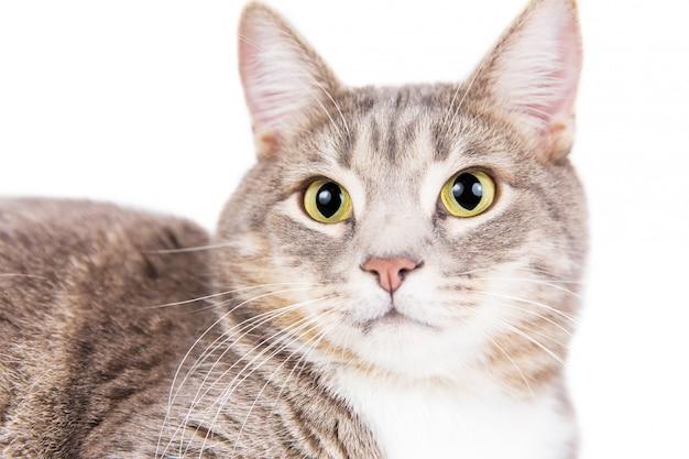 Graue gestreifte katze, die auf weißem hintergrund liegt. Premium Fotos