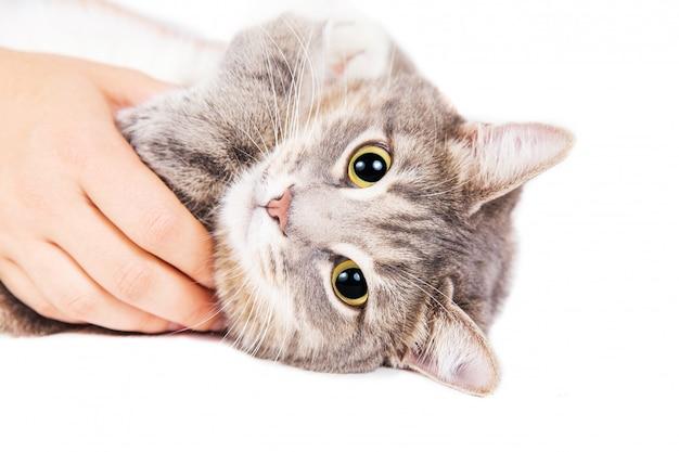 Graue gestreifte katze, die in der hand der frau auf weißem hintergrund liegt. Premium Fotos