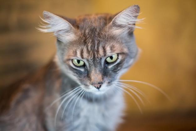Graue katze, die vorwärts schaut Premium Fotos