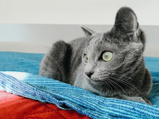 Graue katze mit tiefen großen grünen augen Premium Fotos