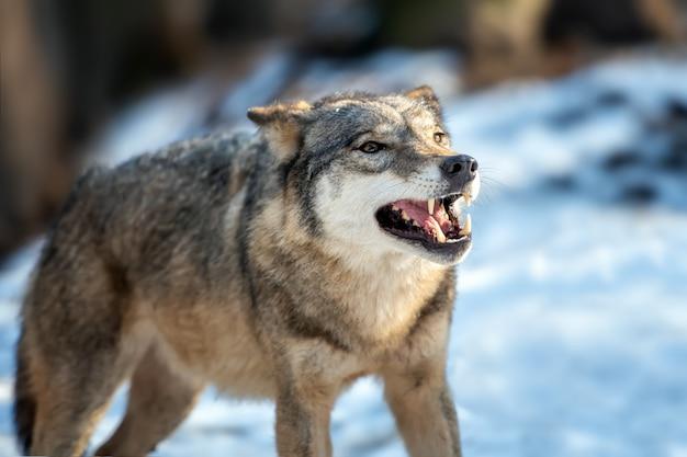 Grauer wolf canis lupus, der im winter steht Kostenlose Fotos