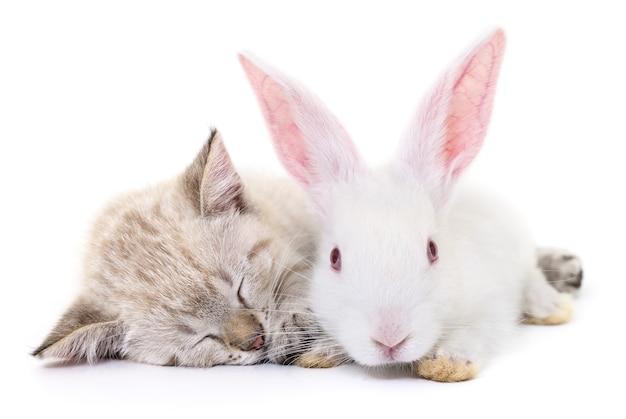 Graues kätzchen, das mit weißem kaninchen auf weiß spielt. Premium Fotos