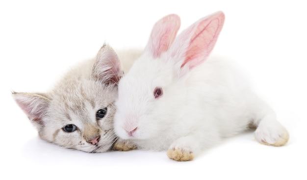 Graues kätzchen, das mit weißem kaninchen auf weißem hintergrund spielt. Premium Fotos