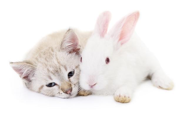 Graues kätzchen mit weißem kaninchen auf weiß. Premium Fotos
