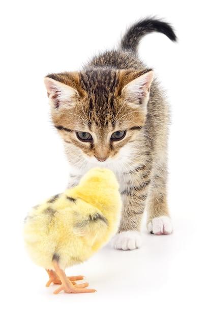 Graues kätzchen und huhn isoliert Premium Fotos