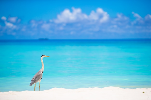 Graureiher, der auf weißem strand auf malediven-insel steht Premium Fotos