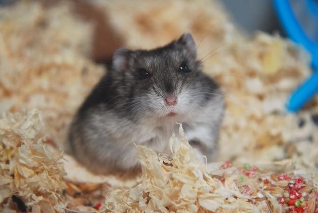 Gray pet hamster im glasaquariumabschluß herauf haustier Premium Fotos