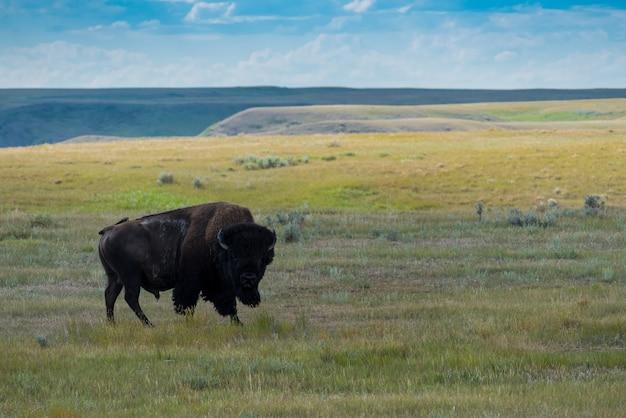 Great plains bison, büffel im wiesen-nationalpark, saskatchewan, kanada Premium Fotos