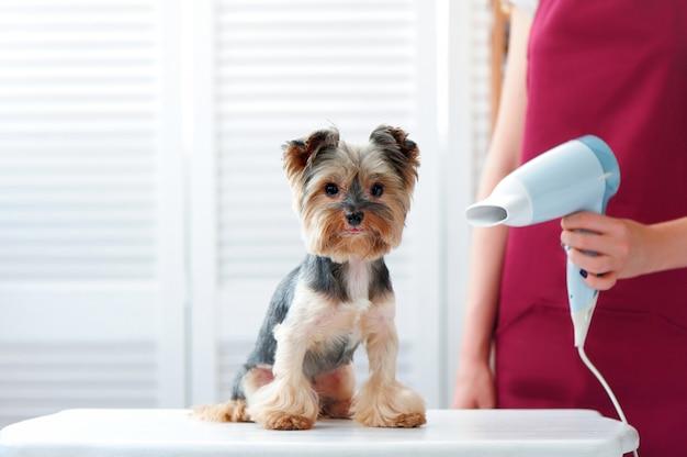 Groomer, der yorkshire-terrierpelz nach bad trocknet Premium Fotos