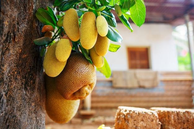 Große frische früchte von jackfrüchten hängen an einem baum Premium Fotos